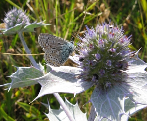 Common Blue Butterfly on Sea Holly