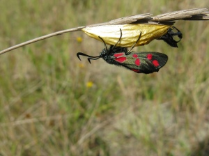 Six-spot Burnet moth, Holme, Norfolk