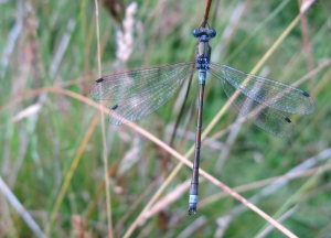 Scarce Emerald Damselfly, Lestes Dryas, The Brecks, Norfolk
